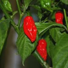 Bhut Jolokia Plant native to Assam and North East India