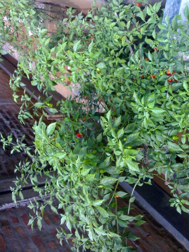 Bhut Jolokia Pepper, Bhut Jolokia Pickle, Naga King Chilli Pepper, Naga King Chilli Pickle, Bhut Jolokia Cuisine