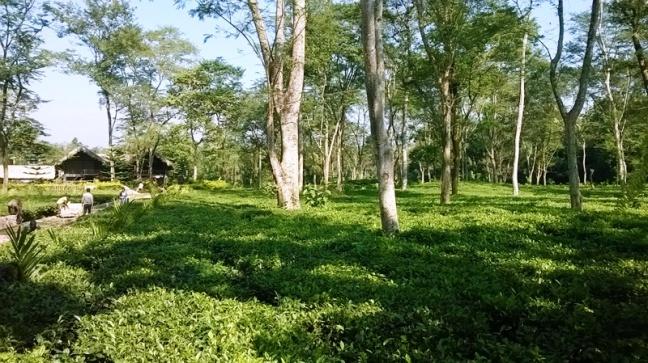 Assam Tea Gardens Tour, Tea Estate holidays in Assam, Assam Fine Tea, Fresh Tea in Assam, Coal Mining in Assam, Assam Ecotourism Homestays and Cottages