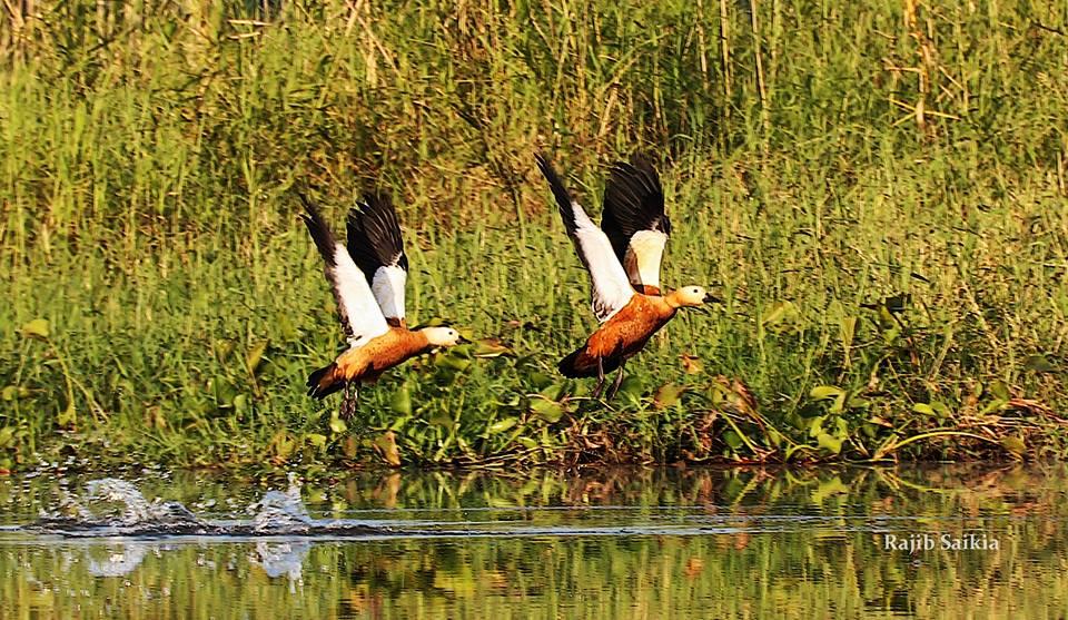 National Park of Assam, Feral Horses Dibru Saikhowa National Park Assam, Tinsukia Tourism Destinations, White Winged Wood Duck Assam, Dibru Saikhowa, Sadiya Ghat, Dhola-Sadiya Bridge
