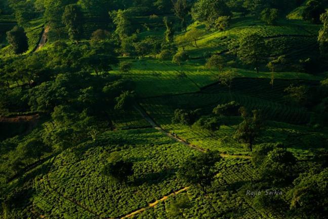 Assam Tea, Tea Tour Assam, Tea Gardens Assam, Assam Tea Gardens