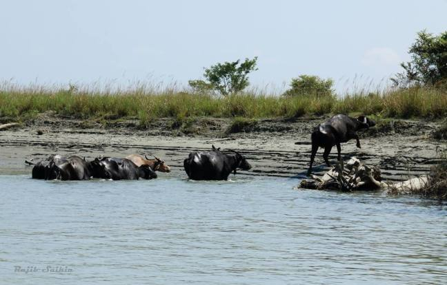 National Park of Assam, Feral Horses Dibru Saikhowa National Park Assam, Tinsukia Tourism Destinations, White Winged Wood Duck Assam, Dibru Saikhowa, Sadiya Ghat, Dhola-Sadiya Bridge